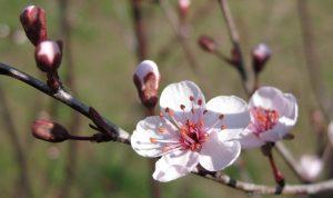 plum-blossom-1427874_1280